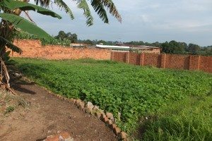 Land inside local church compound being used to grow crops.