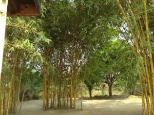 Bamboo grove outside Tshitenge chapel.